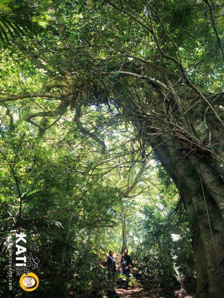 鸞山部落-會走路的樹