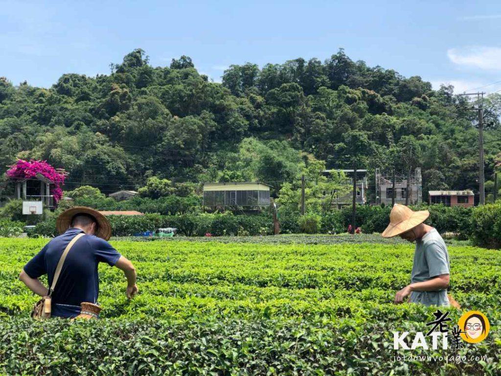 台灣旅行推薦:宜蘭採茶歷史文化、正福茶園採茶體驗