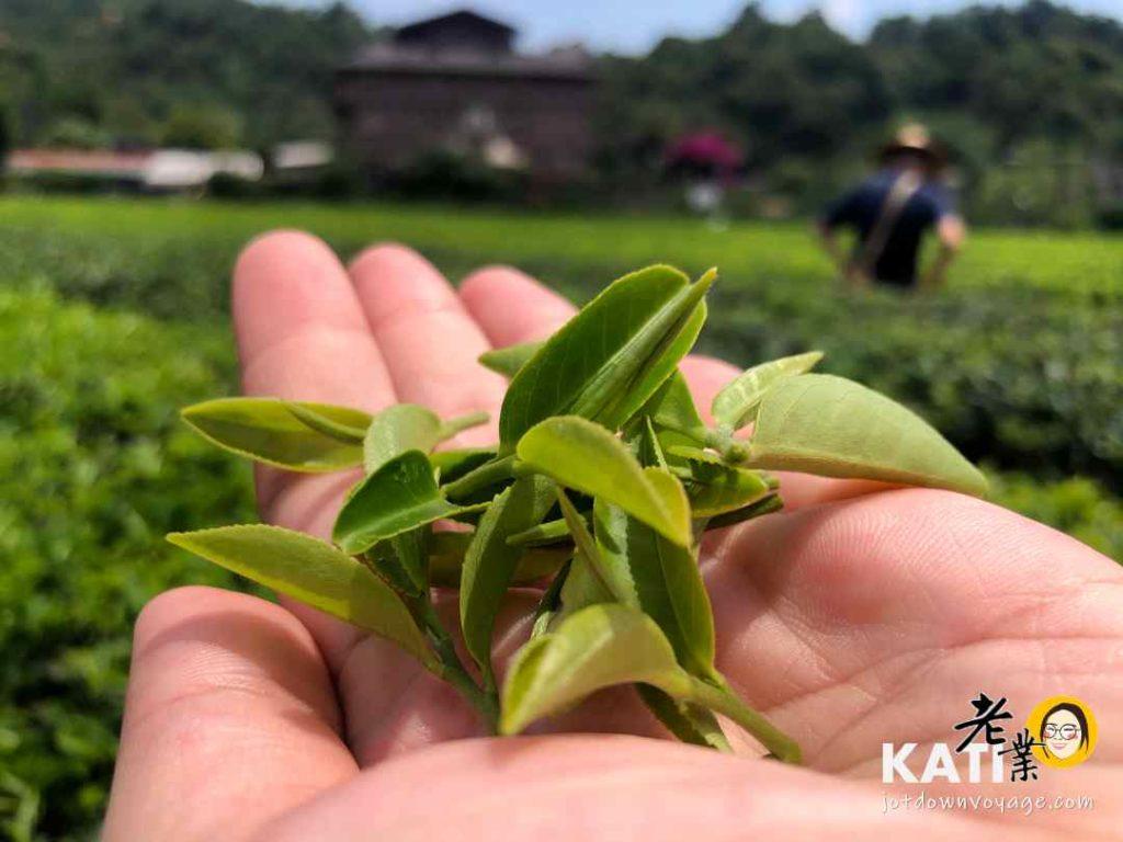 台灣旅行推薦,宜蘭採茶歷史文化、正福茶園採茶體驗