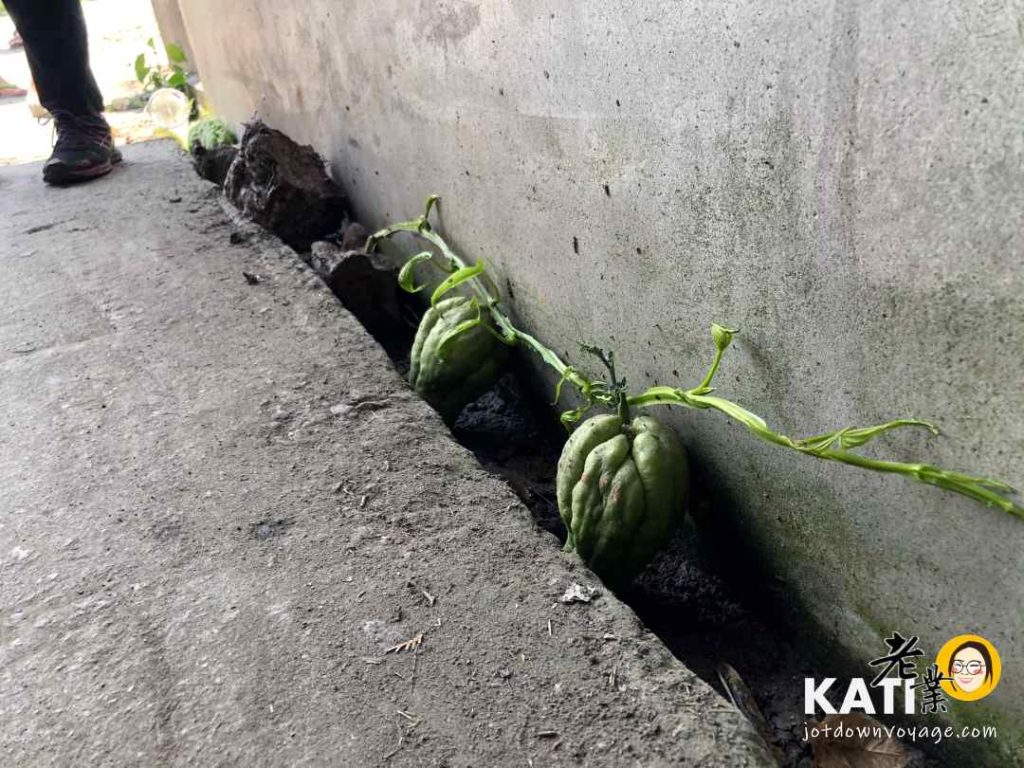 佛手瓜是龍鬚菜的果實 宜蘭幸福柚子民宿