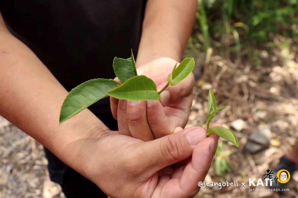 宜蘭正福茶園 台灣低海拔採茶體驗