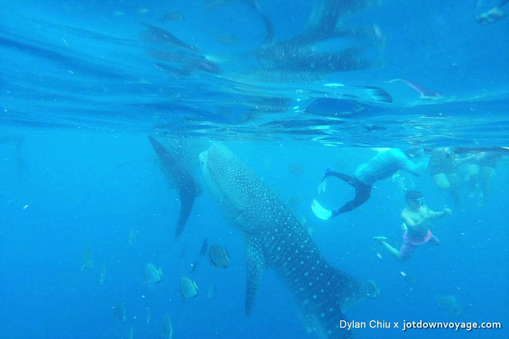 Oslob 賞鯨鯊、鯨鯊共游一 菲律賓旅遊SIM卡吃到飽推薦